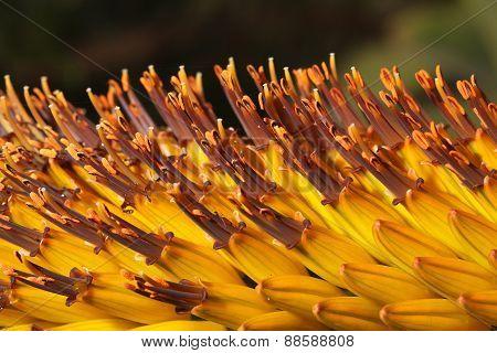 Tropical Beautiful Flowers Kniphofia Closeup