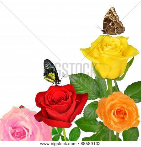 Colorful roses with butterflies