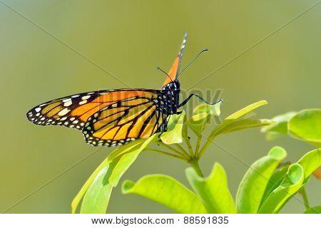 butterfly outdoor on flower (danaus (anosia) chrysippus)