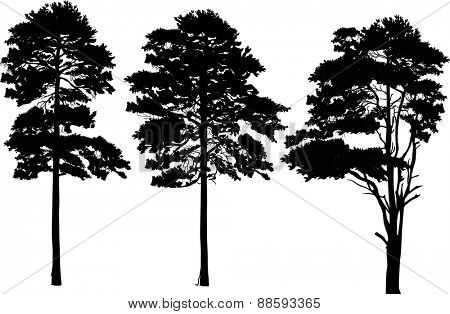 illustration with pine silhouettes isolated on white background