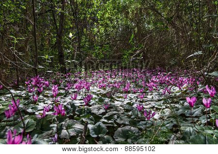 Cyclamens Blossoming