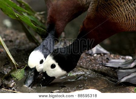 Two male ducks drinking from a pond
