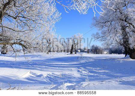 Oaks In Hoarfrost
