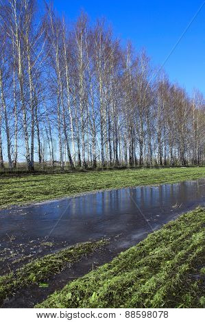 Young Birch Trees In A Field In Spring