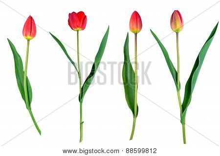 Tulips Flower Set Isolated On White Close-up Clipping Path Included