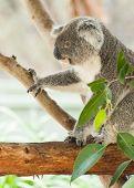image of koalas  - Beautiful koala bear  - JPG