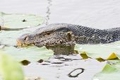 foto of lizard skin  - Closeup Large monitor lizard in canal nature - JPG