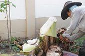 stock photo of banana tree  - CHIANG MAI - JPG