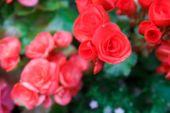 stock photo of begonias  - blurry defocused image of red begonia flower in flowerbed for background - JPG