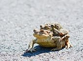 foto of animals sex reproduction  - Closeup shot of two mating ugly frogs - JPG