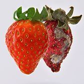 picture of rotten  - healthy and rotten spoiled bad red strawberries