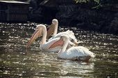 pic of shimmer  - Group of Great white pelicans  - JPG