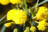 picture of mimosa  - Beautiful flowers fluffy yellow mimosa macro outdoors horizontal - JPG