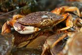 foto of crab  - Live Dungeness crabs for sale at a Seattle market - JPG