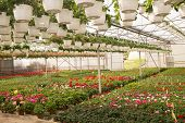 foto of greenhouse  - Blooming Flowers inside a garden center greenhouse - JPG