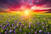 pic of bluebonnets  - Rural Texas bluebonnets and sunflowers at sunrise - JPG