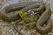 stock photo of pet frog  - Snake eats frog - JPG