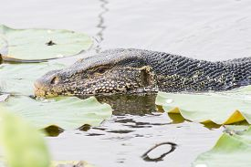 stock photo of goanna  - Closeup Large monitor lizard in canal nature - JPG