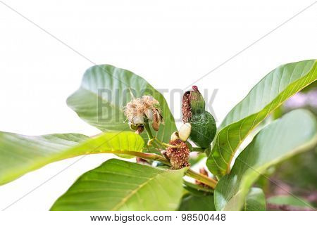 growing of a tropical fruit guava with flower detail