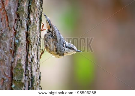 White-breasted Nuthatch (sitta Europaea) On A Tree Trunk (western Siberia)