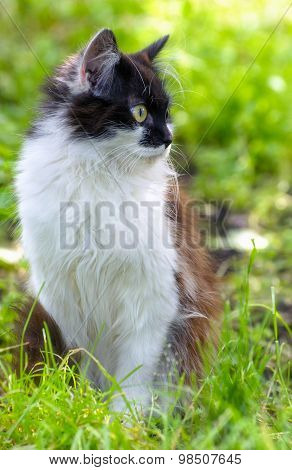 Pretty Cat Or Kitten With White And Brown Hair, Sitting In Grass, Outdoor Shot At Sunny Summer Day