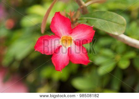 Desert Rose Flower In Bangkok, Thailand