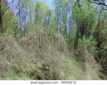 Wild vegetation on the islands of Lower Danube