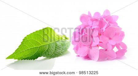 Hydrangea Flower On White Background