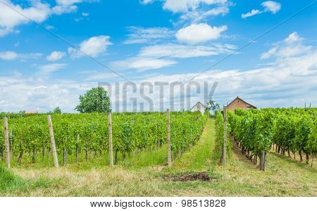Grapevines And Winery
