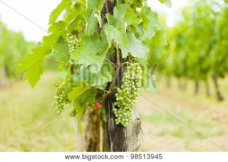 Hungarian Traditional Grape Growing