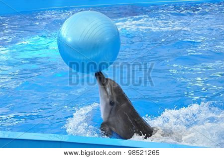 Bottlenose Dolphin In Blue Water With Blue Ball