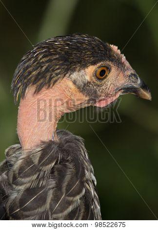 Hatchling Vulture Head Closeup