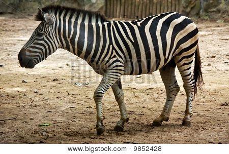 Zebra standing loftily