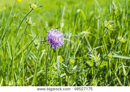 Inflorescence Field Scabious (knautia Arvensis)