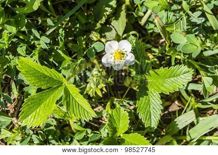 Fragaria Viridis - Flower