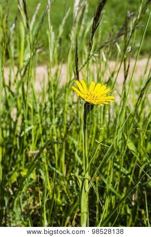 Tragopogon Pratensis (meadow Salsify, Showy Goat's-beard, Meadow Goat's-beard Or Jack-go-to-bed-at-n