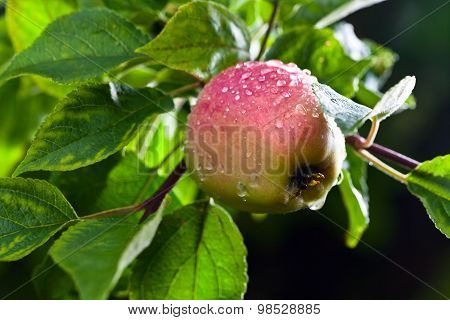 Apple After Rain
