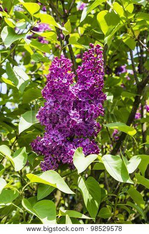 Syringa Vulgaris (lilac, Common Lilac) - Inflorescence