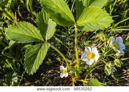 Flower Garden Strawberry (strawberry, Fragaria Ananassa Duchesne)