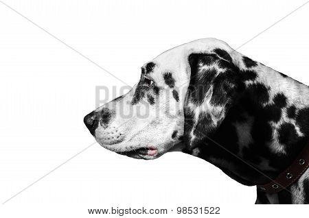 Dalmatian Dog Portrait In Profile