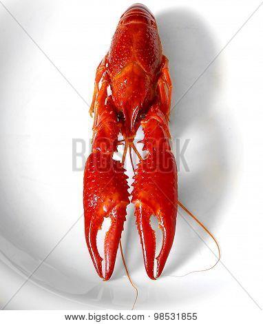 Crayfish Red Boiled European Austropotamobius Pallipes