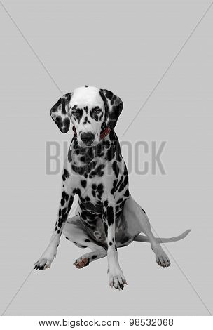 Dalmatian Dog Sitting And Looking Down
