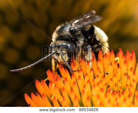 Bumblebee and Cone Flower