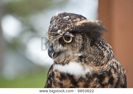Great Horned Owl In Profile