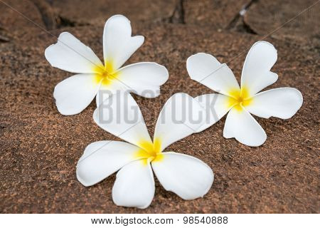 White Frangipani (plumeria) On Laterite Background, Selectived Focus.