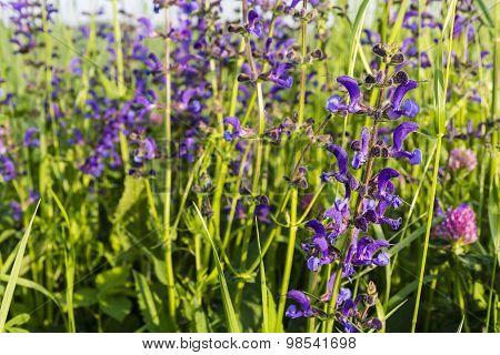 Flowers Sage