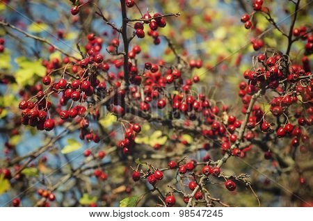Hawthorn berries in nature