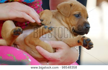 Red-headed Puppy