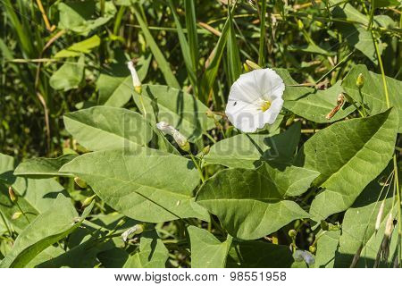Bindweed Blooming In The Meadow