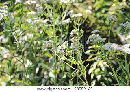 Matricaria blossom